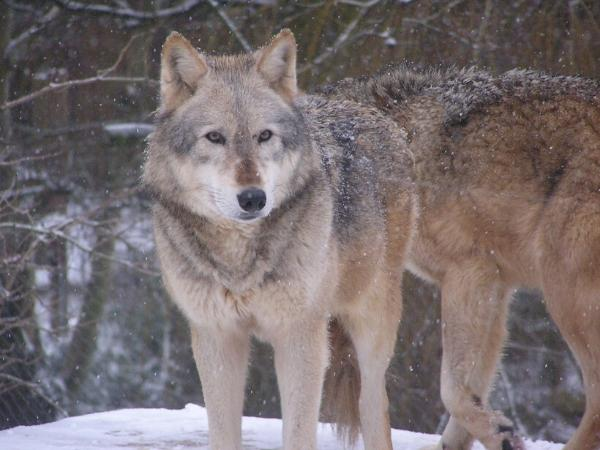 wolves in the snow at colchester zoo
