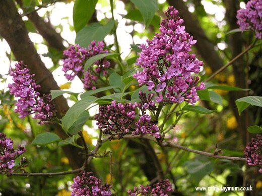Lilac inbloom