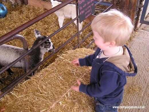 Toddler feeding lambs