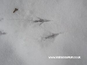 bird prints in the snow