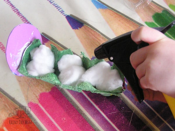 using a spray bottle to help cress grow on cotton wool