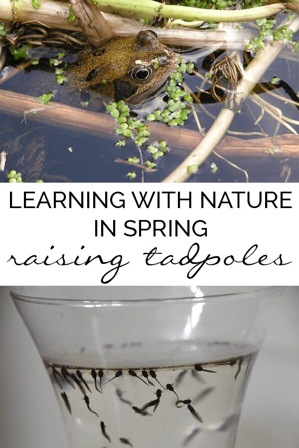 collage of frog and tadpoles with text reading Learning with Nature in Spring Raising tadpoles