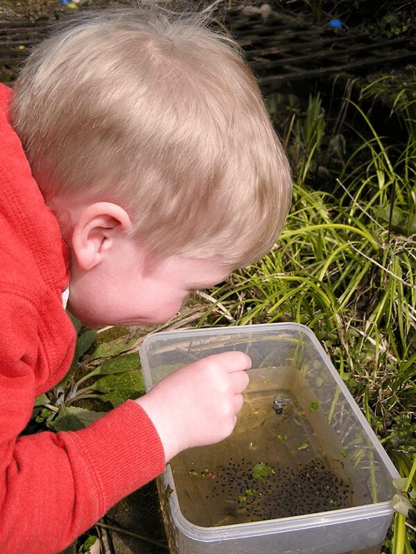 preschooler observing frog eggs in a plastic tub
