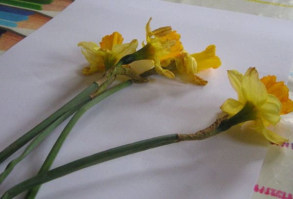 Daffodils from the garden on white paper to invite children to paint what they see in a toddler or preschool invitation to create