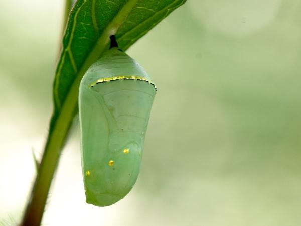 monarch butterfly pupae attached to a leaf in a butterfly kit