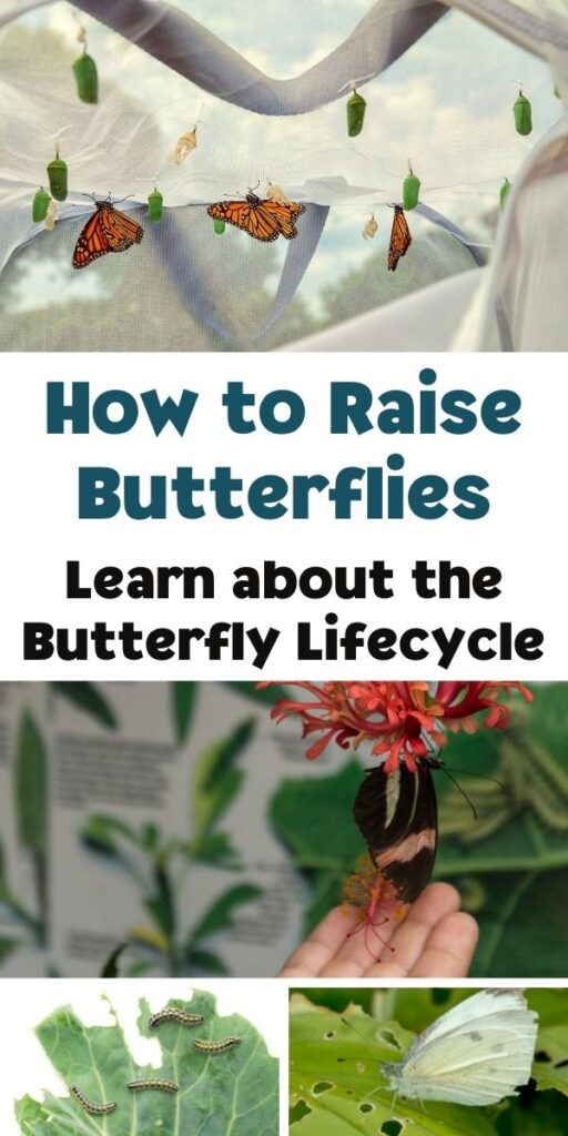 Pinterest collage for raising butterflies and learning about the butterfly life cycle. Activities, crafts and more to do alongside raising your own caterpillars
