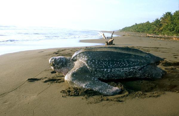 leatherback sea turtle on the beach in Costa Rica