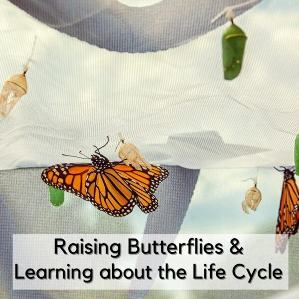 butterfly hanging on the net of a raising butterflies kit with a green chrysallis hanging above and skeleton pupae around text reads Raising Butterflies and Learning about the Life Cycle