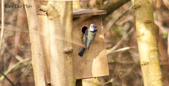 homemade nest box with a great tit going in that kids and you can make at home