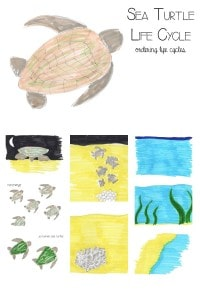 Sea Turtle Life Cycles - ordering and learning about sea turtles