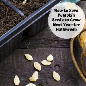 pumpkin seeds saved from last years pumpkin ready to plant in spring with the text overlay reading how to sow pumpkin seeds to grow next year for Halloween