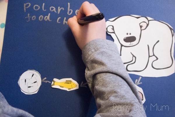 a child labelling a polar bear food chain activity that have made.