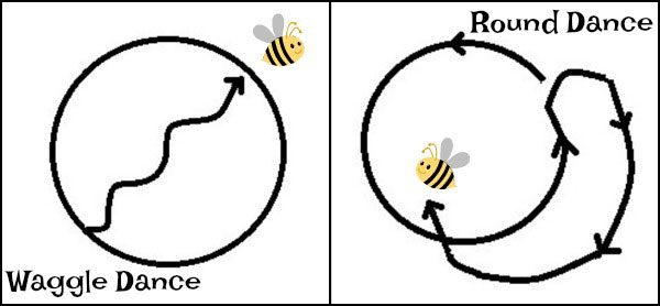 example of waggle and round dance that bees do to show other bees where food is found
