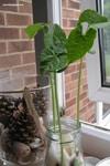 Growing Beans in Jars - simple plant science with preschoolers