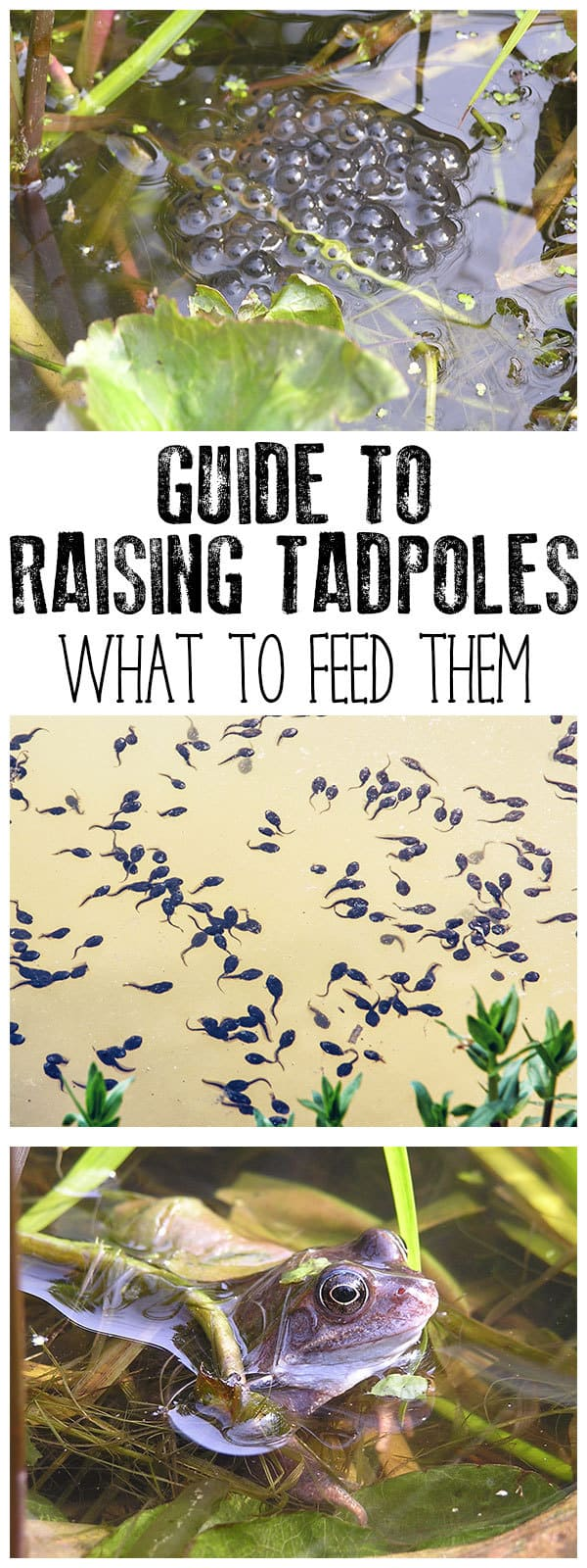 Raising tadpoles is a fantastic way for kids to connect with nature but what do you feed tadpoles as you watch them change. Discover what you can feed tadpoles at different stages of development with these easy recipes for tadpole food.