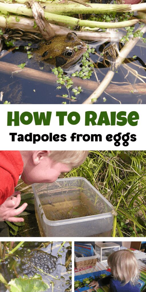 How to raise tadpoles from eggs