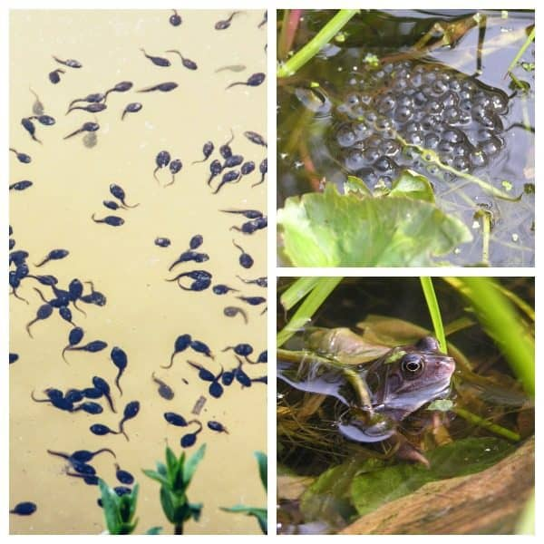 collage of tadpoles, frog spawn and frog