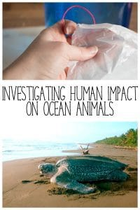 Explore the impact that humans are having on ocean animals looking at plastic bags and leatherback sea turtles with this full lesson plan and jellyfish model making experiment.