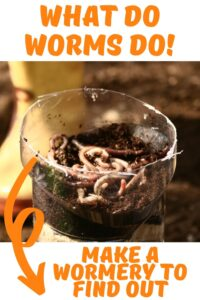 What do Worms do! worms on top of soil in a plastic bottle, make a wormery to find out