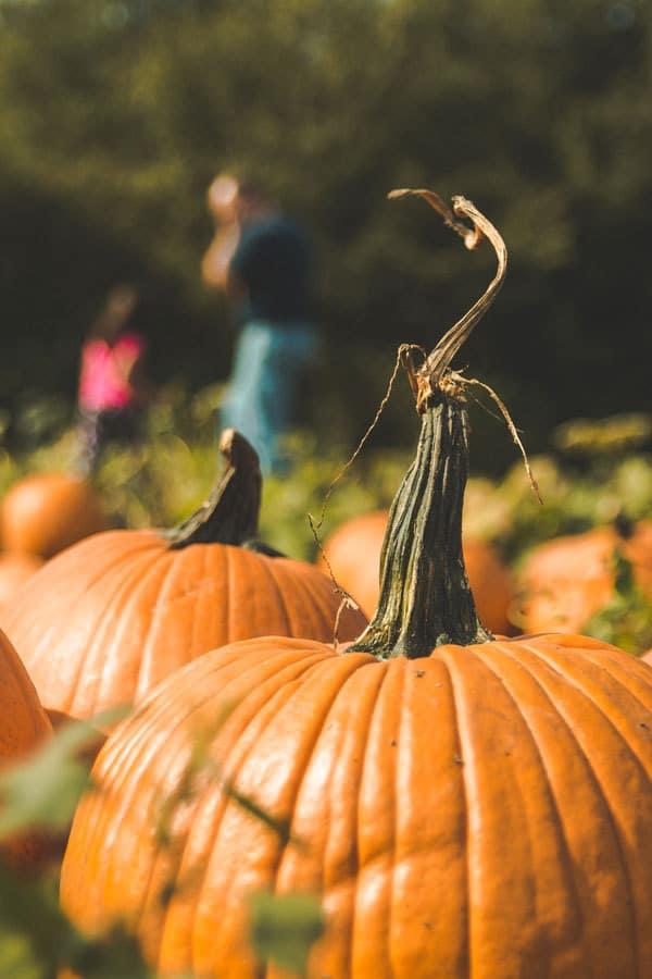 Pumpkins at the farm in Autumn