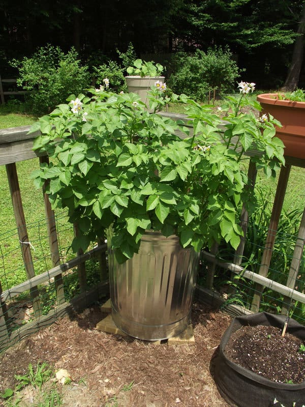 growing potatoes in a trash can easy garden projects for kids