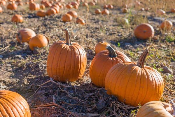 Pumpkins in the pumpkin patch - so much more fun choosing than in the super market