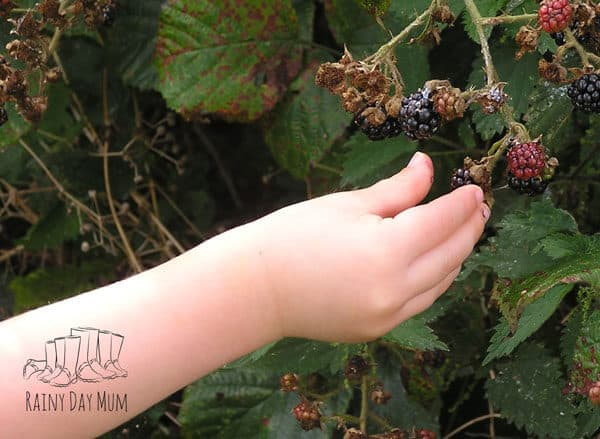 child picking blackberries