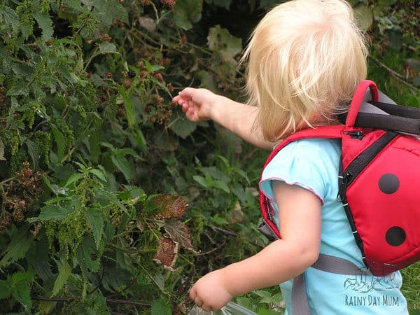 toddler picking blackberries in early autumn