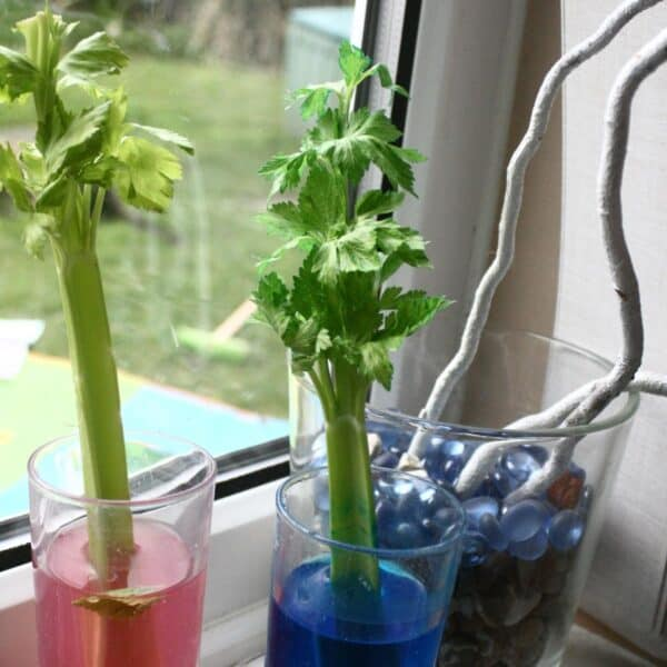 celery science experiment for kids to investigate transpiration