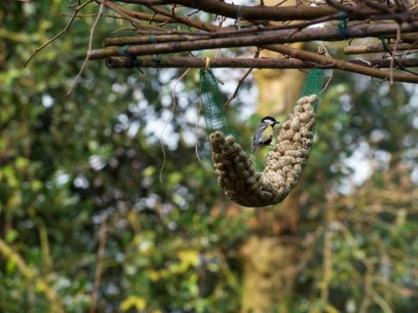 garden bird eating monkey nut peanuts hung in a tree