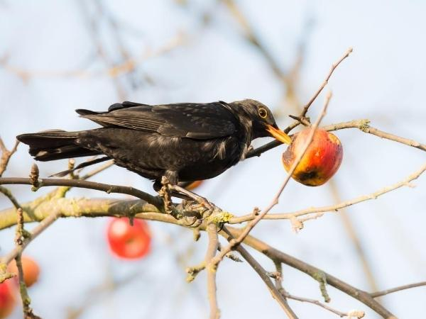 black bird eating an apple from the tree in winter