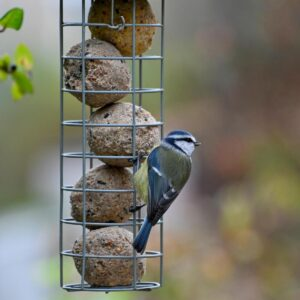 blue tit hanging on a bird feeder with homemade suet balls inside one of the many bird feeds you can make at home