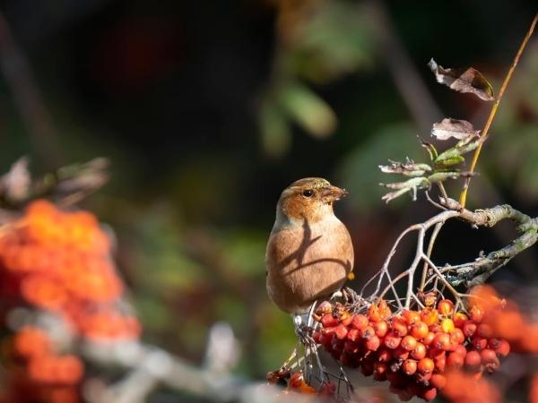 chaffinch on a bush eating the red berries in autumn