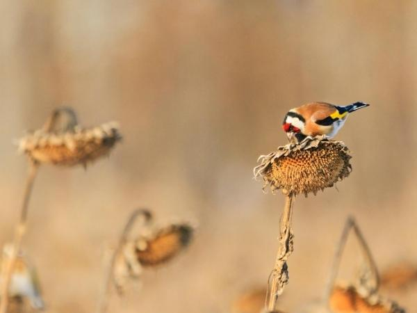 goldfinch eating the seeds from a sunflower head