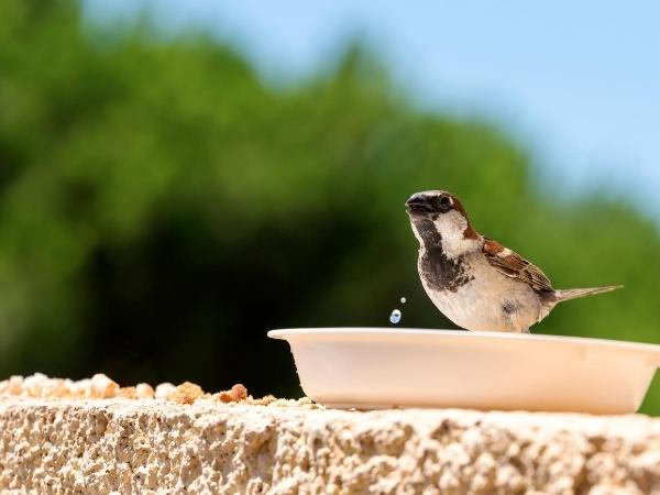 sparrow drinking water from a bowl