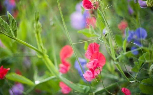 pink and purple sweet peas growing in a garden