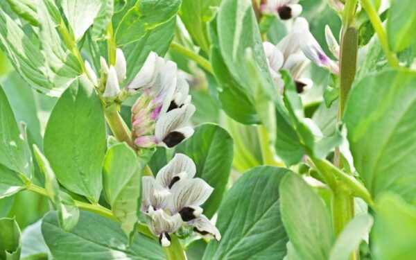 broad bean flowers growing in the soil