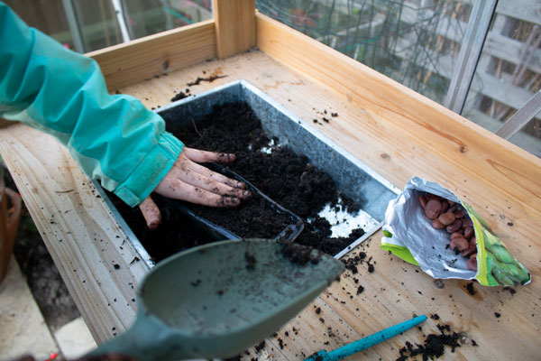 filling a root trainer with compost for broad beans to grow in