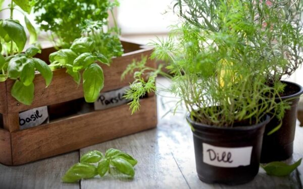 herbs growing in pots on a window sill with basil and parsley in a wooden crate and dill to the side