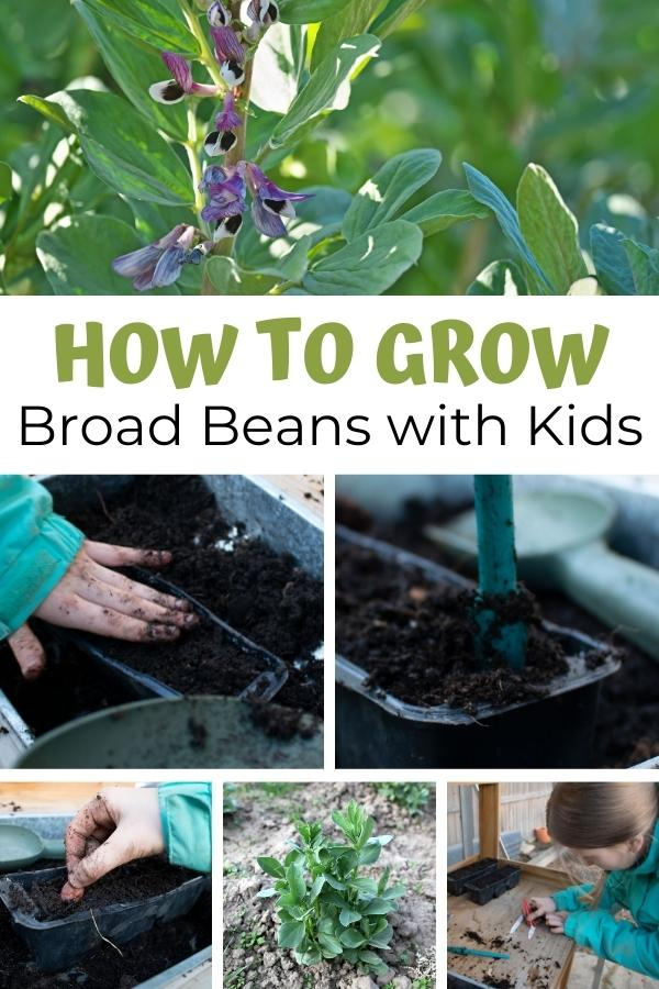 collage showing a child sowing and then growing broad beans with text reading how to grow broad beans with kids