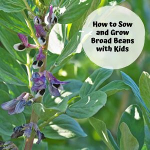 broad beans growing in the garden with text reading how to sow and grow broad beans with kids