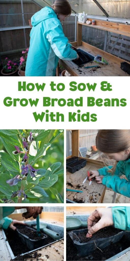 collage of a tween girl growing broad beans that she has sown from seed text reads How to Sow and Grow Broad Beans with Kids