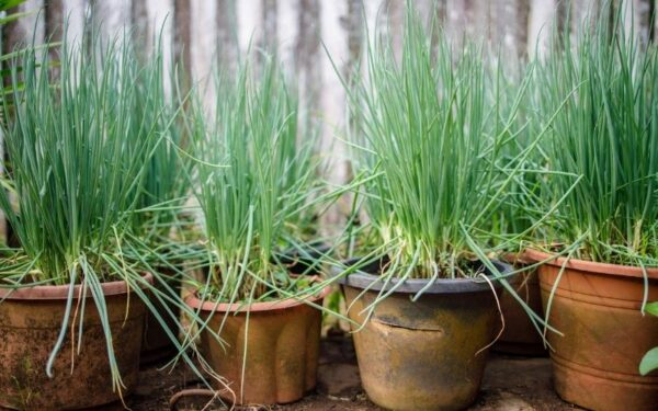 a set of pots with spring onions growing in them ideal to start off in November with kids