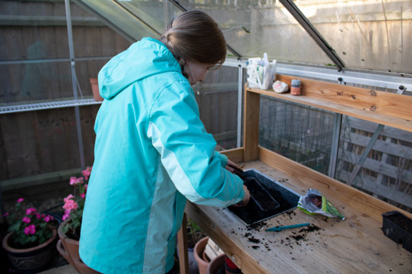 tween girl in a greenhouse in the UK planting broad bean seeds in late autumn early winter for spring harvets
