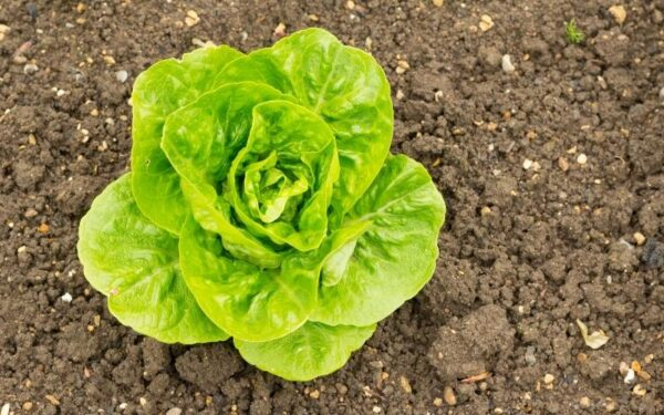 winter gem lettuce variety growing in soil ideal for planting and growing with kids in november