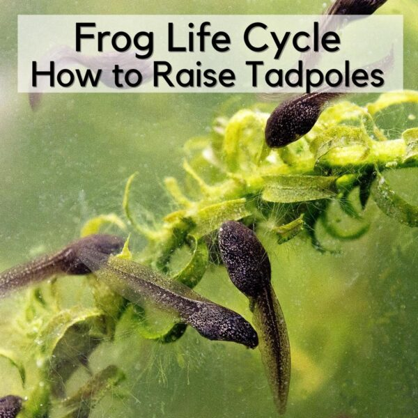 tadpoles in an observation tank eating the algae from some pond weed text reads Frog Life Cycle How to Raise Tadpoles