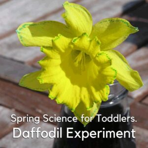 a daffodil with blue around the edges and faint blue veins showing on the petals the progress of a plant science experiment for toddlers the text overlay reads spring science for toddlers daffodil experiment