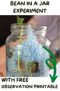 Pinterest image for a bean in a jar experiment with free observation printable showing the beans germinated in the jar with leaves forming