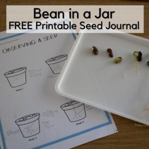 free printable observing a seed journal sheet next to a tray with stages of bean germination laid out for kids for plant science. Text overlay reads Bean in a Jar FREE printable seed journal