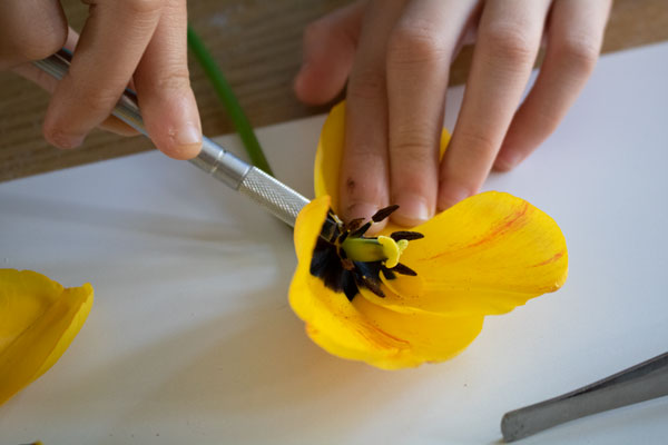 child using a scalpel to cut a cross section of a tulip to reveal the reproductive organs of the flower